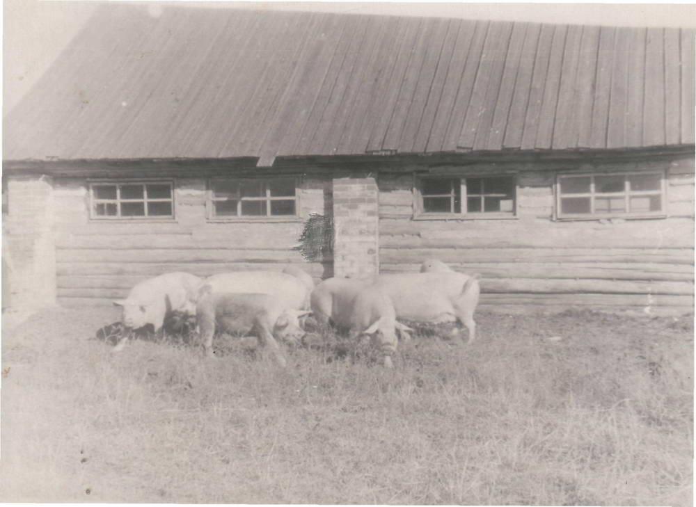 Уржумская порода свиней. Молодняк. д. Сабуял 1950-е гг.