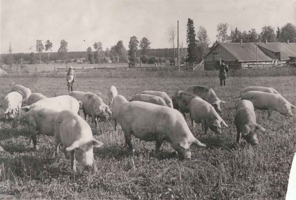 """1946 г. Колхоз """"Сталинский путь"""" ( д. Сабуял). Свиньи на выпасе. Зав. фермой - фронтовик М. Я. Морозов"""