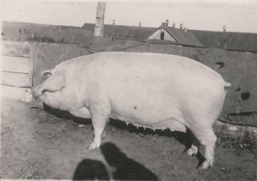 "Колхоз ""Крейсер Аврора"". Свиноматка Веста, 431 кг. 1951 г."
